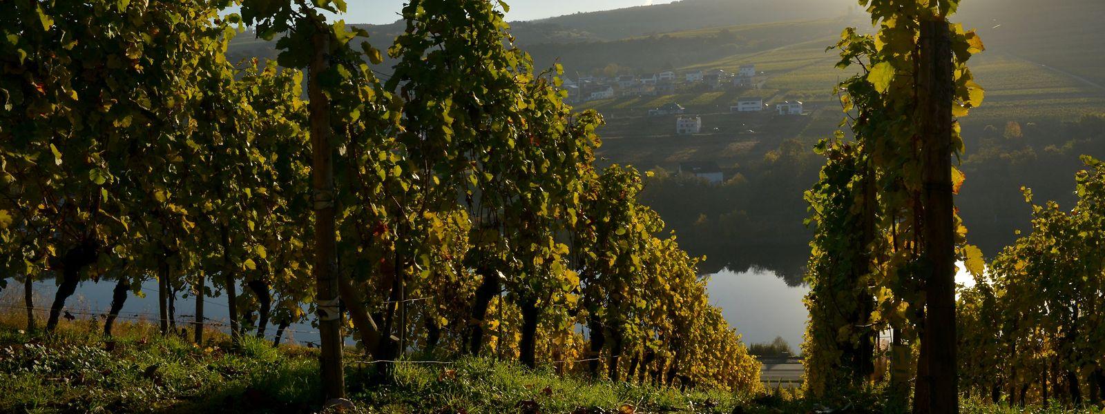 As vinhas da Mosela