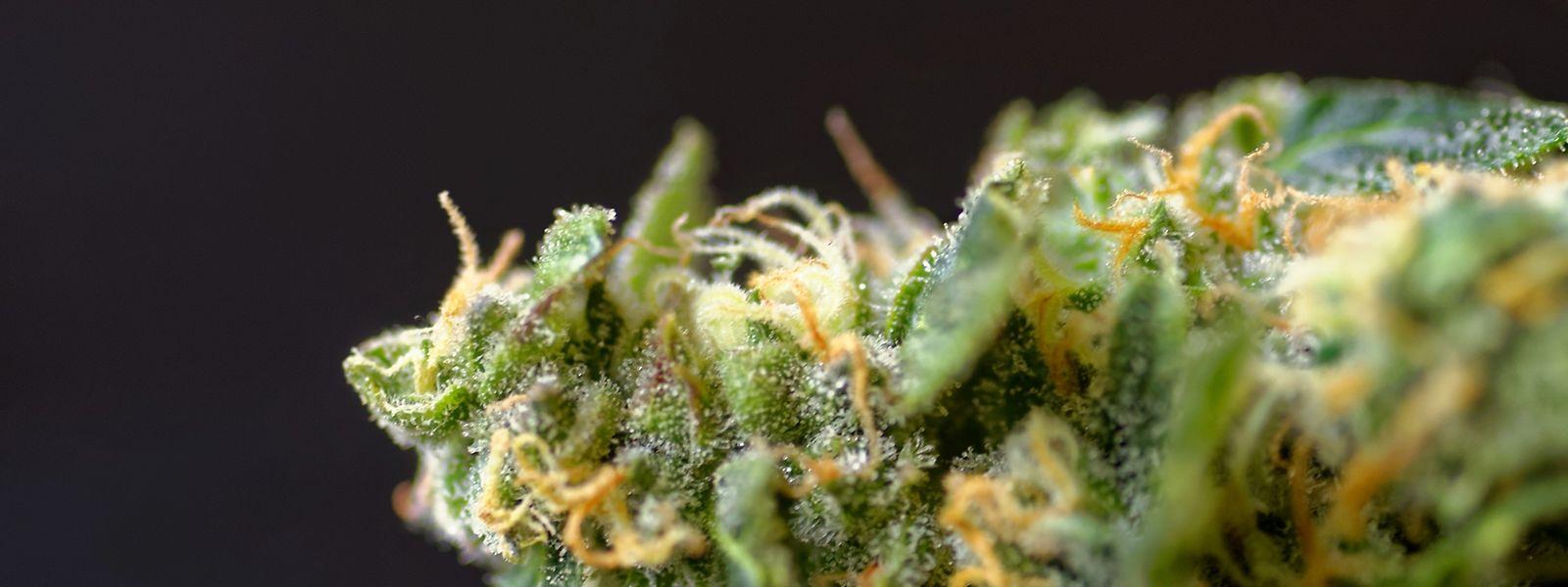 Cannabisblüten enthalten Hunderte von Stoffen, die medizinisch wirksam sind.