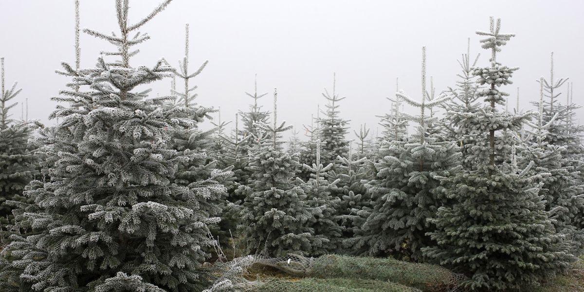 Fokus Sapins de Noël - des sapins made in Lux, chez Meyers Christmas-Trees, Heesberhaff, Assel, le 08 Decembre 2016. Photo: Chris Karaba