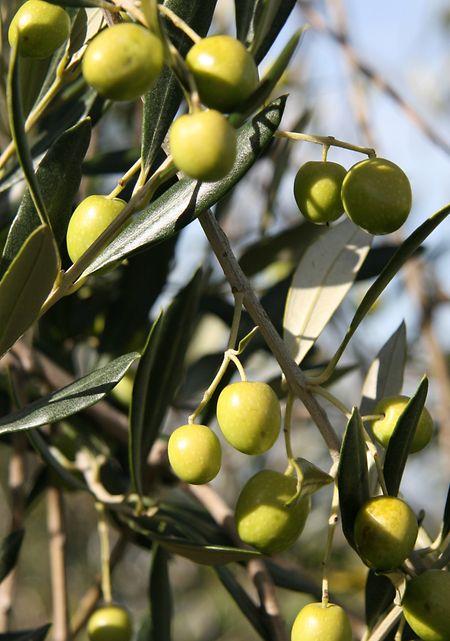 Zu den symbolträchtigsten Pflanzen der Schriften gehört der Ölbaum.
