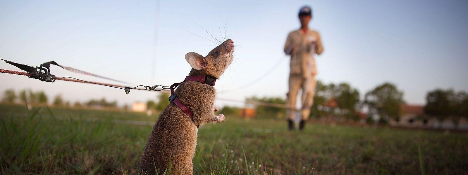 Die Landminenentschärfung ist teuer – bis zu 1000 Dollar pro Stück. Daher setzt die staatliche Minenräumungsbehörde, das Cambodian Mine Action Centre, immer häufiger auf die tierischen Helfer.