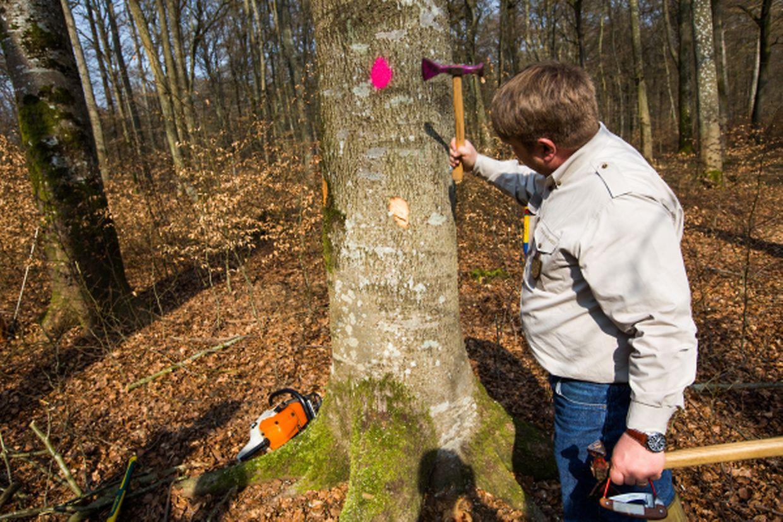 Die zum Fällen ausgewählten Bäume werden für die Waldarbeiter gekennzeichnet.