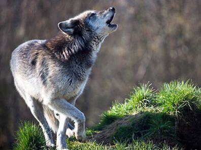 Wölfe leben in der Regel im Rudel.