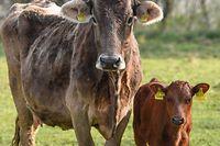 ARCHIV - 17.04.2018, Stolzenhagen: Eine Milchkuh und ein Kalb stehen auf einer Weide. (zu dpa «Urteil nach tödlicher Kuh-Attacke - Konsequenzen für Tourismus?» vom 22.02.2019) Foto: Patrick Pleul/dpa-Zentralbild/dpa +++ dpa-Bildfunk +++