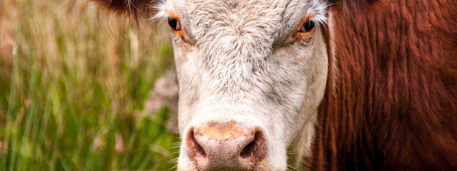 Auf einem Bauernhof in Rodenburg kam es zu einer Kuh-Attacke.