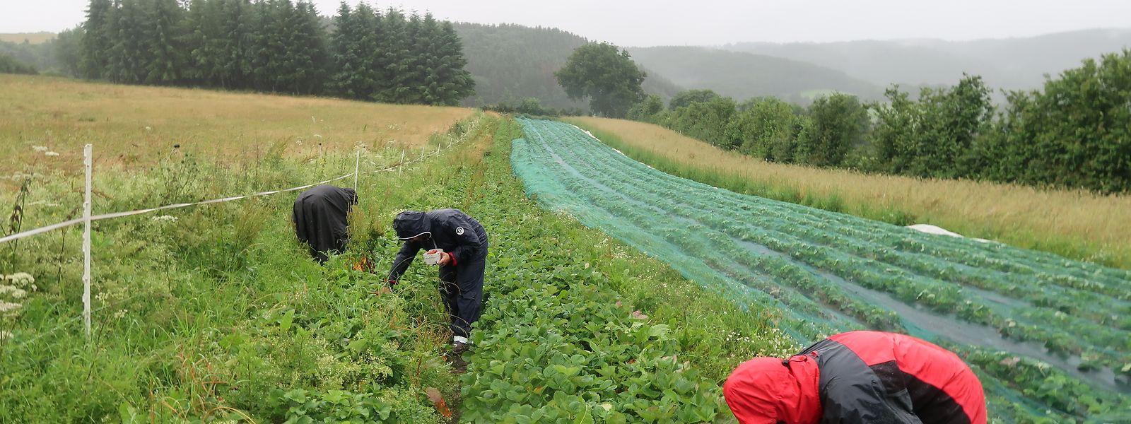 Engagierte Erntehelfer bei der Arbeit: Auf der Erdbeerplantage von Jos Fischbach in Drauffelt kann in einem guten Jahr bis zu einer Tonne Erdbeeren geerntet werden. Wegen des feuchten Wetters war es im vergangenen Jahr aber gerade einmal rund die Hälfte.