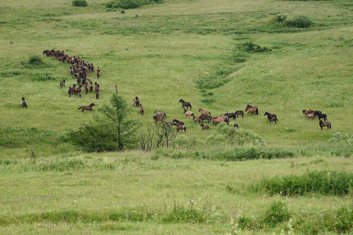 Die vom ausgestorbenen Tarpan-Wildpferd abstammenden Huzulen haben eine Widerristhöhe zwischen 132 und 145 Zentimetern.