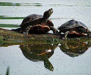 Schildkröten um Iechternacher Séi