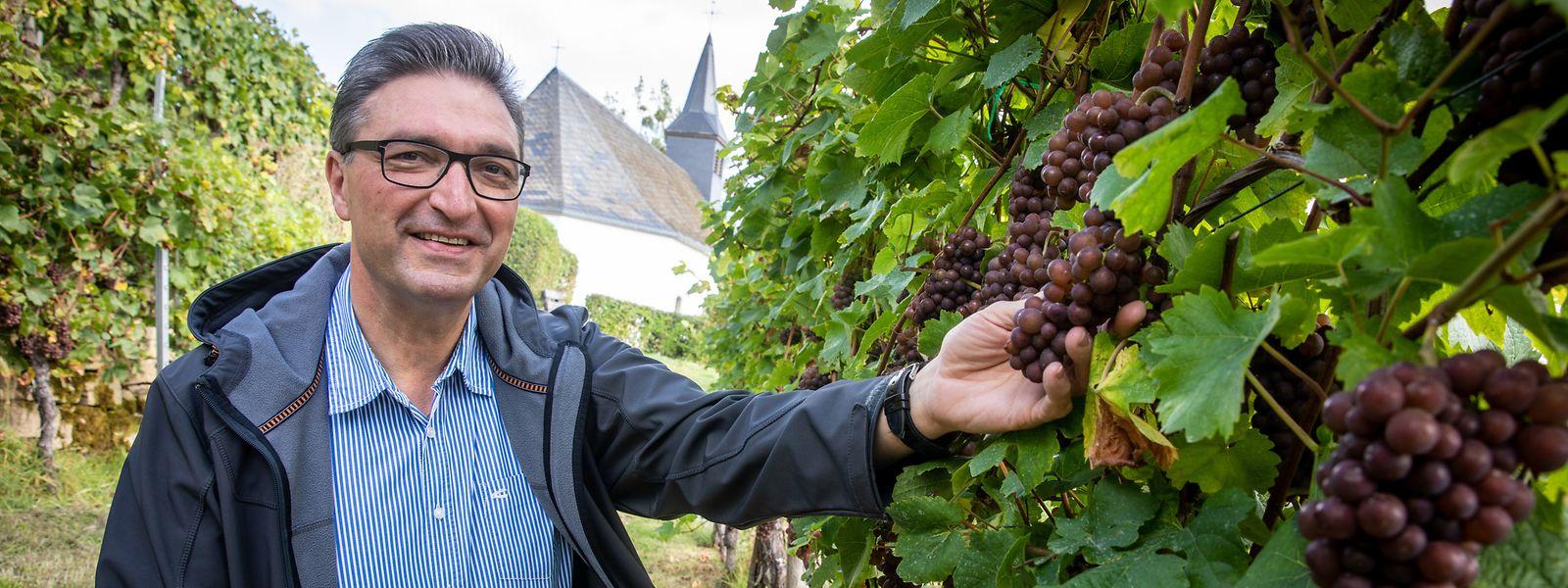 Dicht an dicht hängen die reifen Trauben der Sorte Pinot gris in Claude Baches kleinem Weinberg an der Kreuzkapelle.