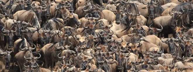 Rund 1,3 Millionen Gnus begeben sich jedes Jahr auf die Wanderung von der Masai Mara in die Serengeti.
