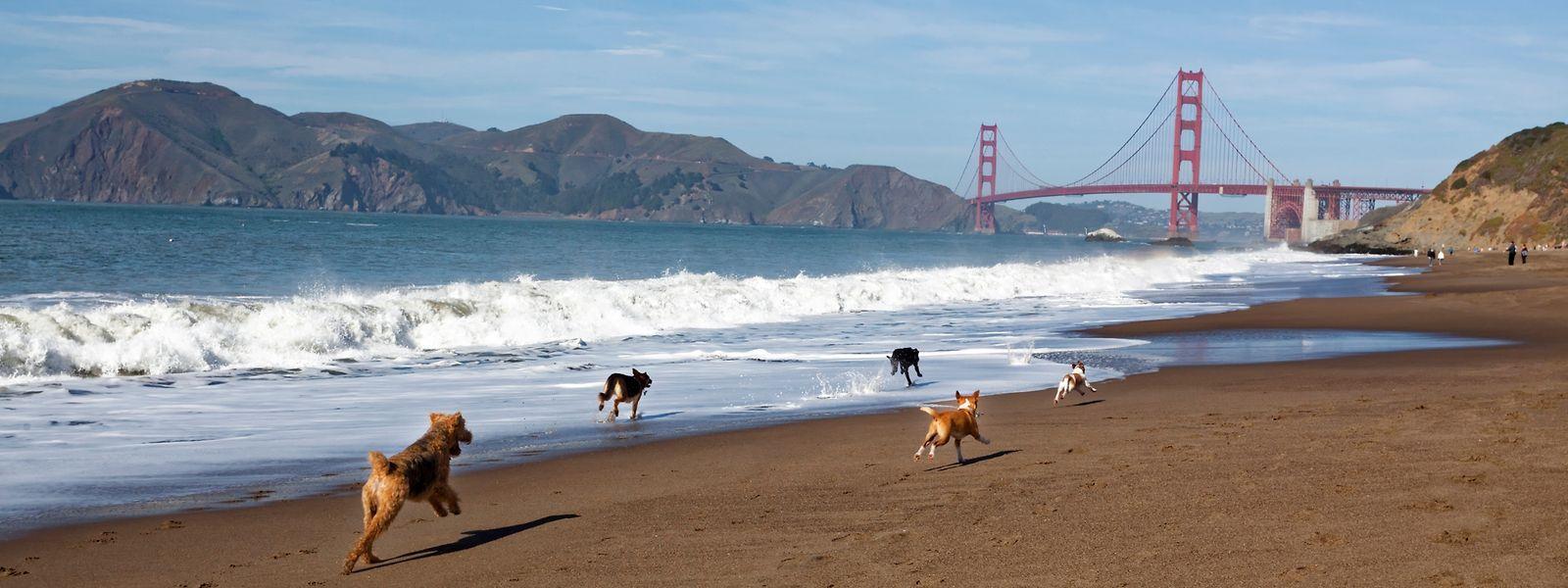 In der Mittagspause toben sich die Doogler-Hunde am Strand vor der Golden Gate Bridge aus.