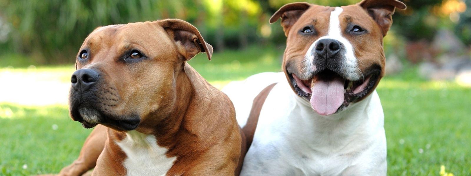 Halter von Listenhunden, zu denen auch diese Staffordshire-Terrier zählen, müssen sich hierzulande an strenge Auflagen halten.