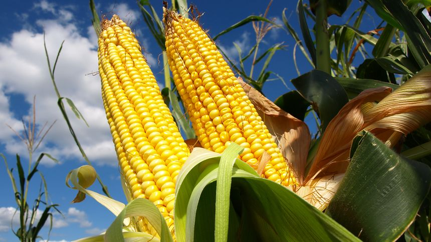 Monsanto MON810 maize is the only GMO currently cultivated in the EU