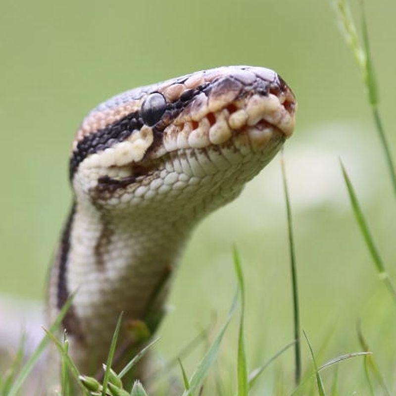 Schreckensszene in Bayern: Python im Klo