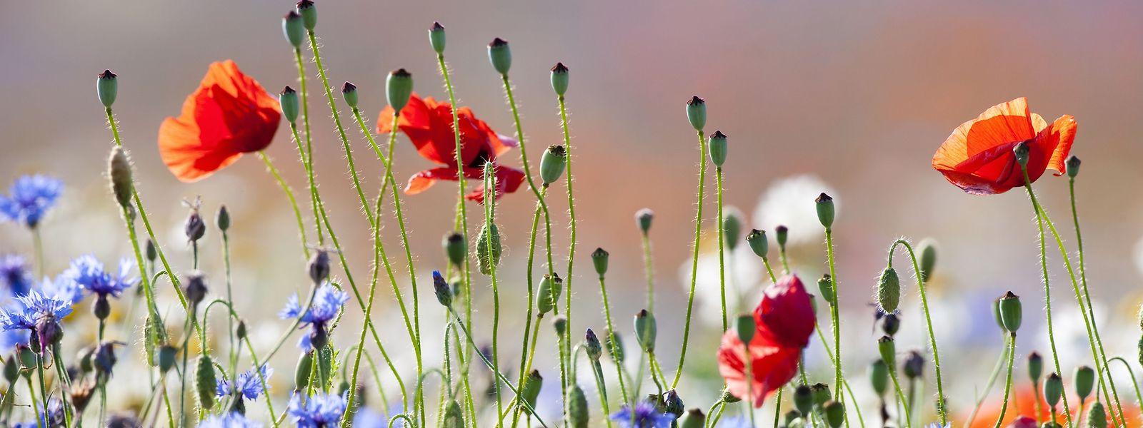 Wildblumenwiesen bestechen mit üppiger Farbenpracht und ziehen Insekten magisch an.