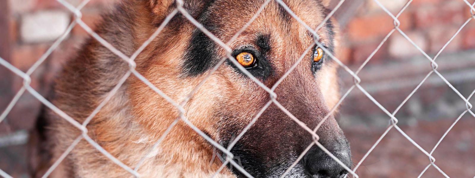 Am 21. Mai waren zwei Schäferhunde in Schifflingen aus einem eingezäunten Bereich entkommen. In der Folge kam es zu einem Hundeangriff, bei dem zwei Personen verletzt wurden.