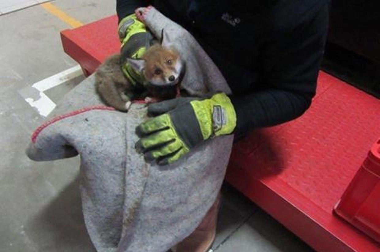 Der Fuchswelpe wurde nach Düdelingen in die Wildtierpflegestation gebracht.