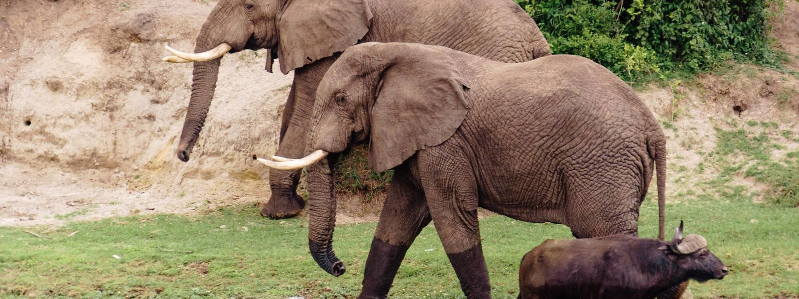 Büffel vor Elefanten: Eine Bootsfahrt auf dem Kazinga-Kanal zeigt reichlich gute Fotomotive.