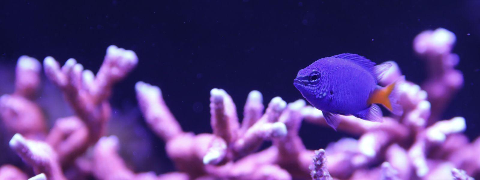 In Wasserbillig gibt es nicht nur exotische Fische zu sehen, sondern auch bunte Korallen.
