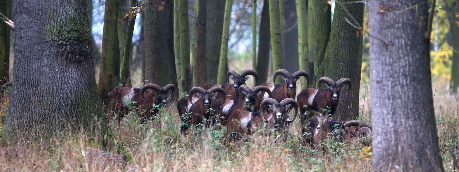 Mufflons in einem Wald in Luxemburg: Die stattlichen Tiere widerstehen der Jagd und vermehren sich, obwohl sie nicht an die hiesigen Verhältnisse angepasst sind.
