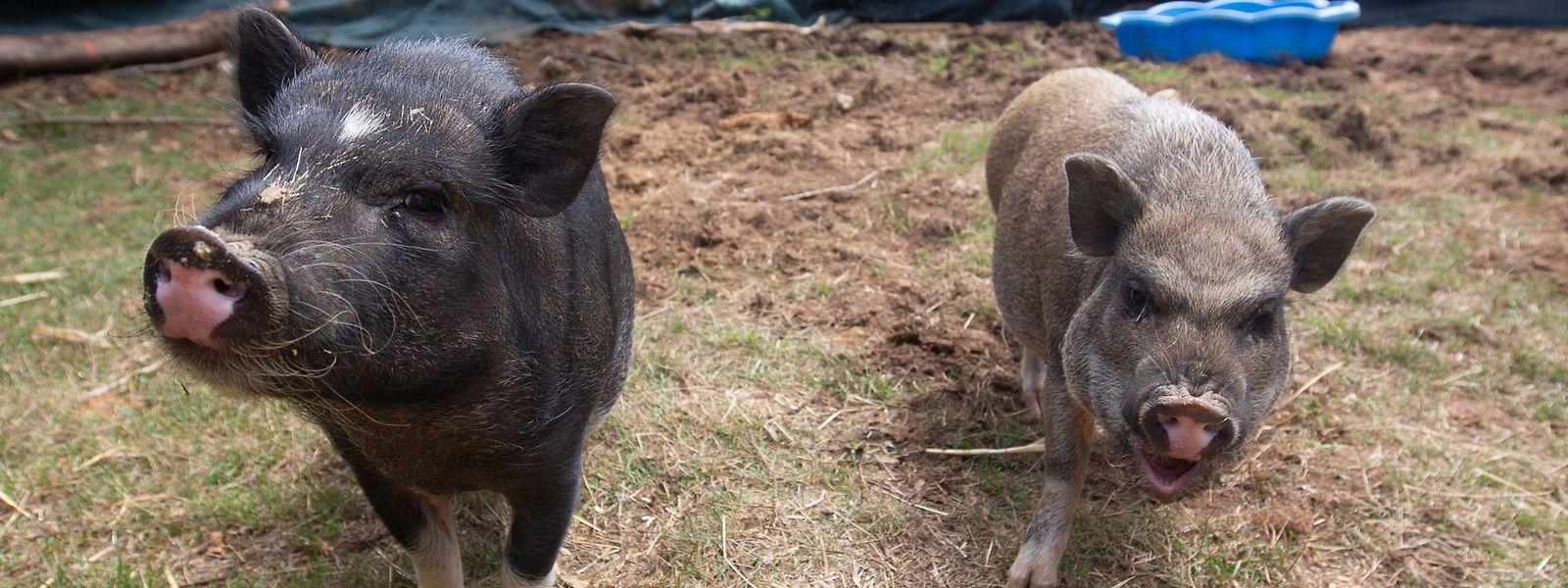 Erna (r.) und Lotta sind ein Mini-Schwein-Geschwisterpaar. Die etwa 40 Kilogramm schweren Tiere sollen Teil eines pädagogischen Bauernhofs mit etwas neuem Konzept werden.