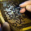 20.08.14 Zuchtprojekt resistentere Bienen,Imker,Bienenzucht. Paul Jungels-Hilgert.Foto:Gerry Huberty