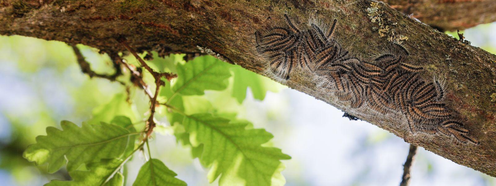 Die Raupen entwickeln ab dem dritten Larvenstadium ihre Brennhaare.