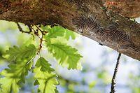 Lokales, Natur, Eichenprozessionsspinner, Eichen-Prozessionsspinner, Raupen können beim Menschen eine Raupendermatitis auslösen, Allergie, allergische Reaktion, Raupen, Foto: Anouk Antony/Luxemburger Wort
