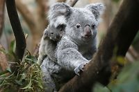 The yet unnamed male koala  joey rides on his  mother Goonderrah's back  at the Zoo in Duisburg, western Germany on Wednesday, March 27, 2013. The little Koala left his mother's pouch after six months for the first time. The Duisburg Zoo is one of the major breeding units for Koalas in Europe. (AP Photo/Frank Augstein)