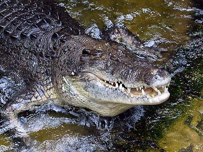 In Australien stehen Krokodile seit 1971 unter besonderem Schutz.