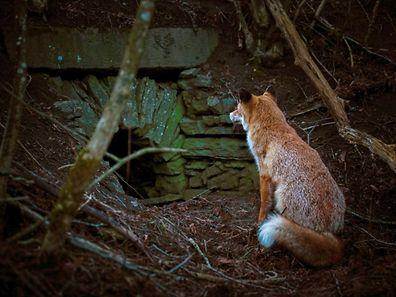 Aus Sicht der Landwirtschaftskammer sind Füchse ein Problem.