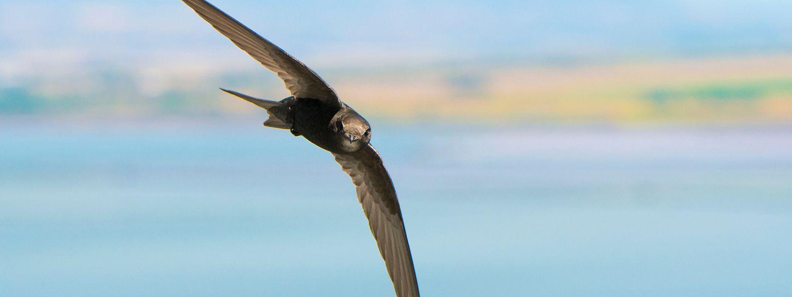 Warum ausgerechnet den Alpen- und Mauerseglern der Schlaf-entzug nichts auszumachen scheint, wissen die Ornithologen bisher allerdings noch nicht.