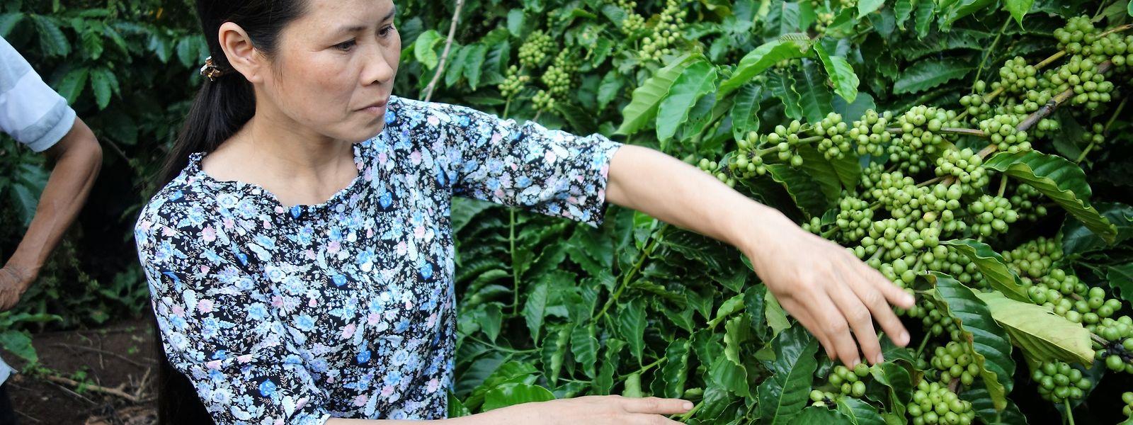 In den Kaffeegärten der Kooperative Eakiet wird sich sorgsam um die Gesundheit der Pflanzen gekümmert.