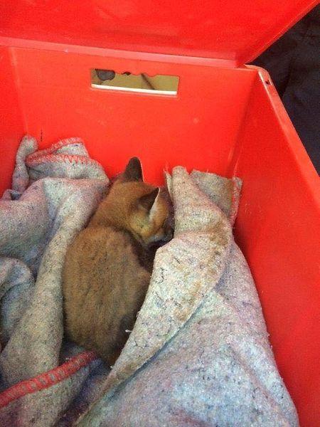 Le petit renardeau va reprendre des forces dans un centre spécial pour animaux sauvages à Dudelange.