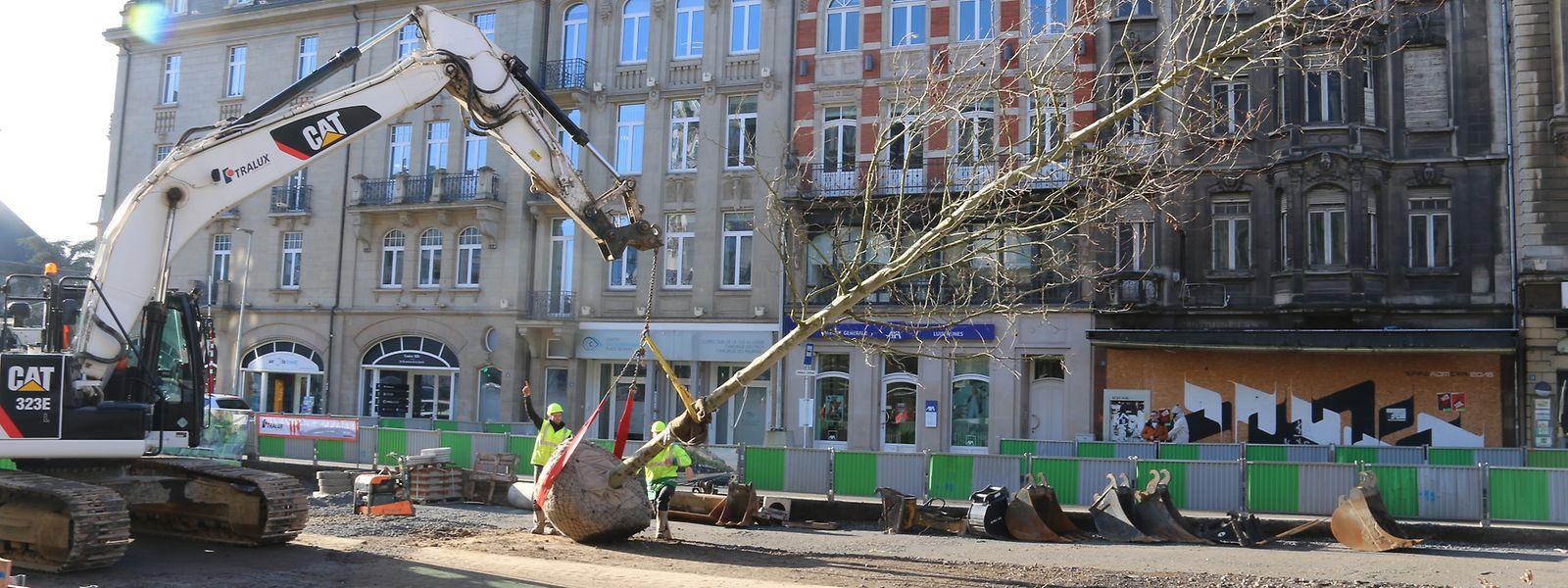 Désormais, deux platanes seront plantés chaque jour sur l'avenue.