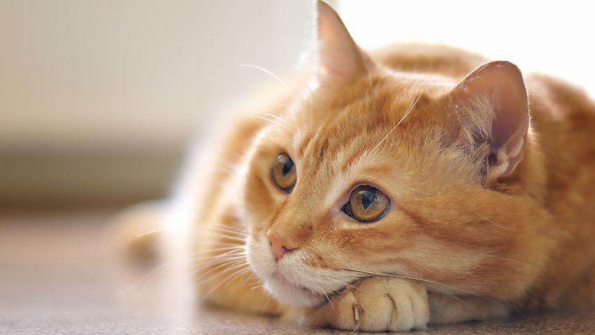 Häufige Augenprobleme bei Katzen sind auf Viren zurückzuführen.