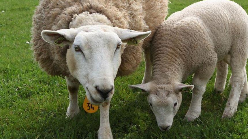 Auch Haushunde können Schafe reißen.
