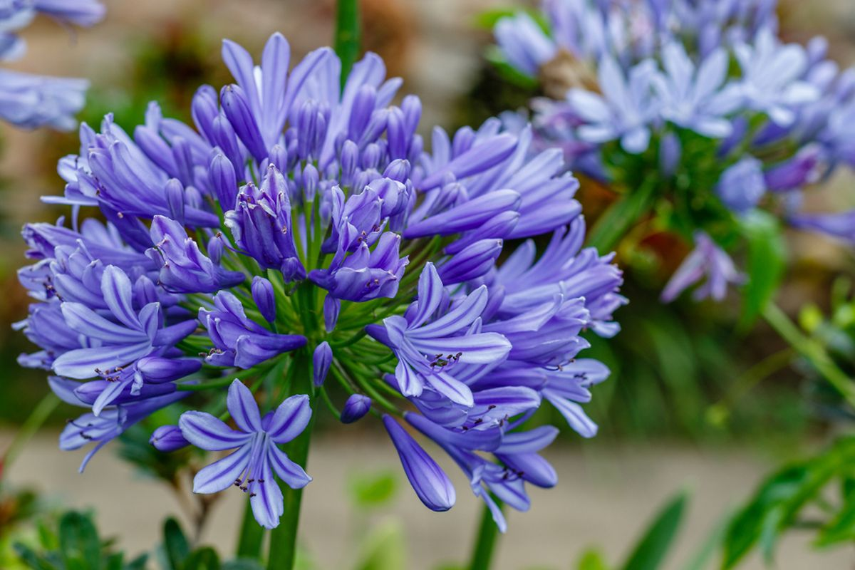 Corms of flowers such as agapanthus can now be planted directly in the ground