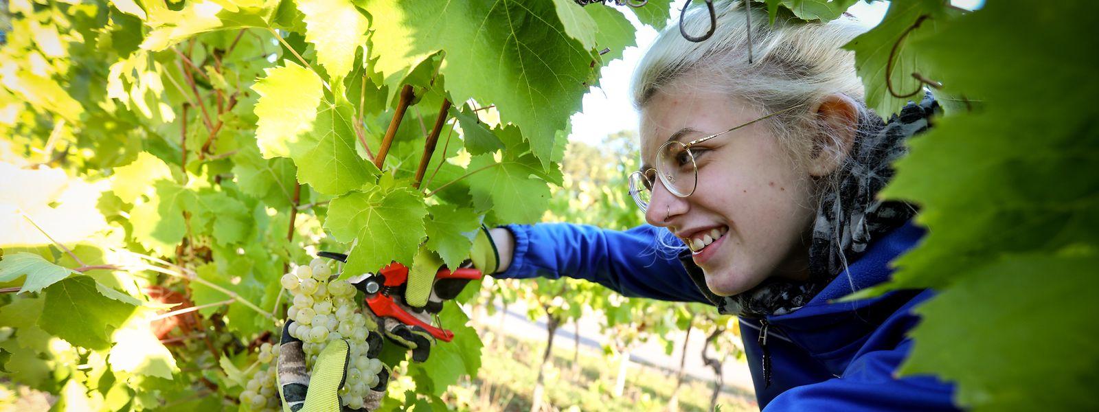 Die luxemburgische Studentin Michelle hilft in Schengen bei der Traubenlese.