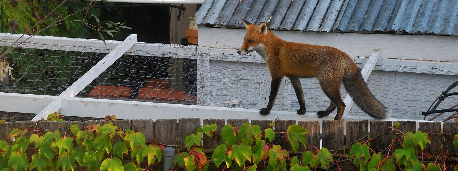 Weil er immer mehr aus seinem Lebensraum verdrängt wird, sucht der Rotfuchs nach Alternativen. Die findet er zunehmend in Städten.