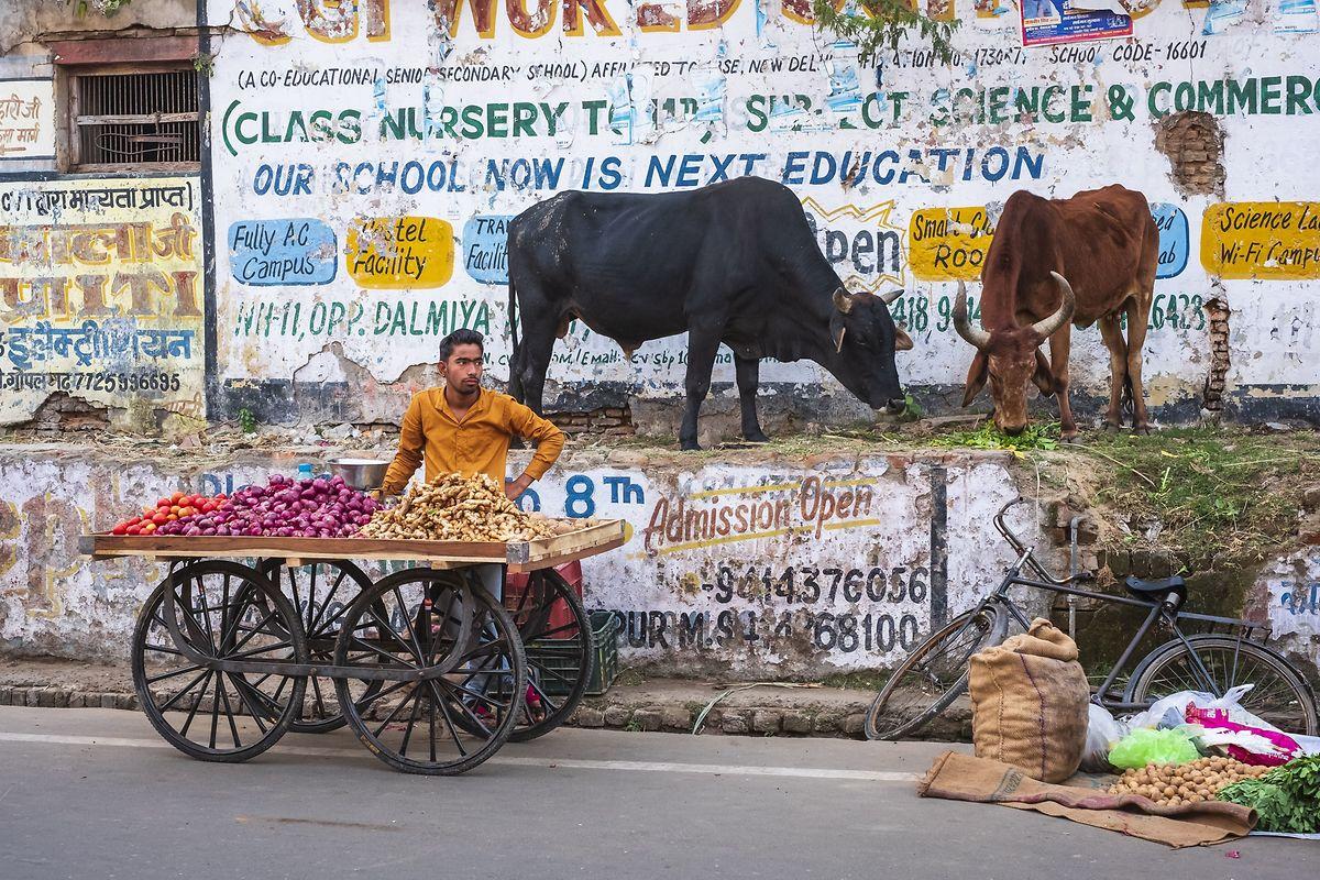 Die Kühe sind überall: auf Autostraßen, unter Brücken, in den Städten, auf Märkten, Schulhöfen, vor Büros und Regierungsgebäuden.