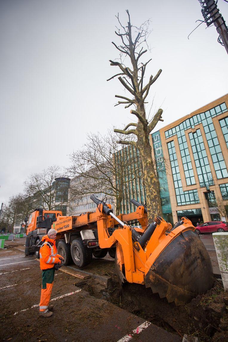 Die Bäume werden in drei bis vier Jahren ihren definitiven Platz entlang der Stadtbahntrasse erhalten.