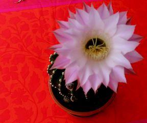 Cactus a voller Bléi