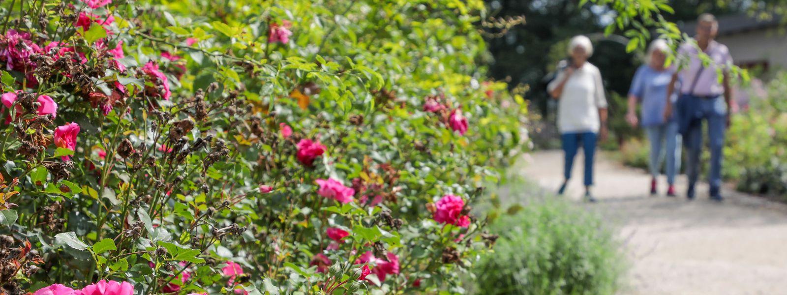 3.000 Rosensträucher wachsen im Rosarium auf dem Gelände des Domaine Thermal in Bad Mondorf.