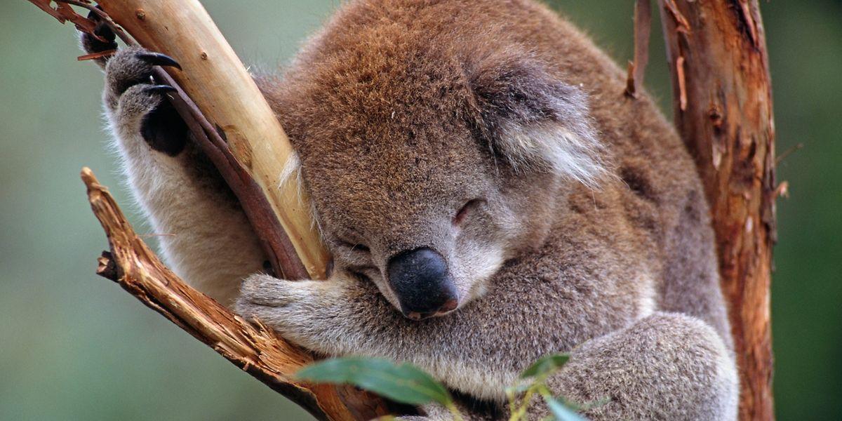 Koalas gehören in einer Bilanz des WWF zu den Verlierern im Artenschutz 2017.