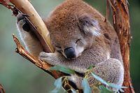 dpatopbilder - HANDOUT -Das vom WWF am 27.12.2017 zur Verfügung gestellte Foto zeigt einen schlafenden Koala im Healesville Sanctuary in Victoria (Australien). Koalas gehören in einer Bilanz des WWF zu den Verlierern im Artenschutz 2017. (zu dpa «Kampf ums Überleben - Gewinner und Verlierer in der Tierwelt 2017» vom 27.12.2017) ACHTUNG: Nur zur redaktionellen Verwendung im Zusammenhang mit der aktuellen Berichterstattung und nur bei Nennung: Foto: Warwick Sloss/WWF/dpa +++(c) dpa - Bildfunk+++