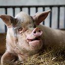Cientistas descobrem que vírus encontrado em porcos consegue infetar células humanas