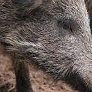 Peste suína. Governo luxemburguês não exclui possibilidade de contaminação