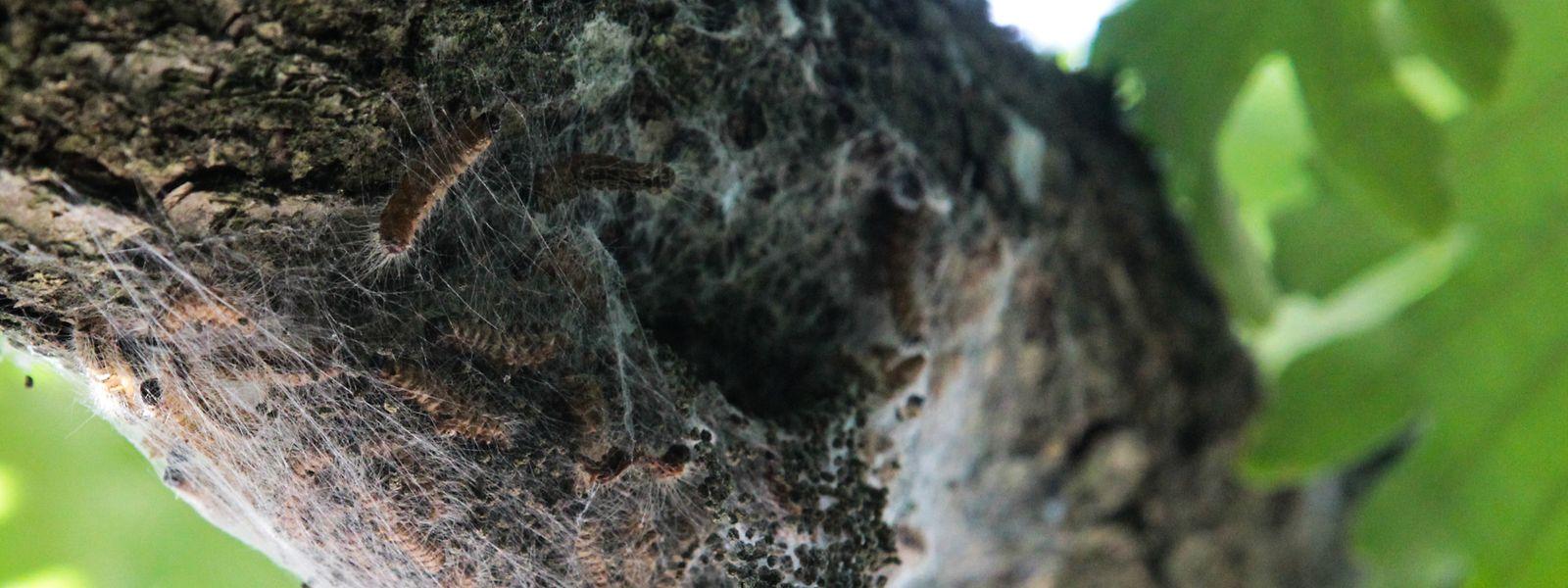 Die Brennhärchen der Larven des Eichenprozessionsspinners stellen ein gesundheitliches Risiko dar. Der Falter selbst ist ungefährlich.