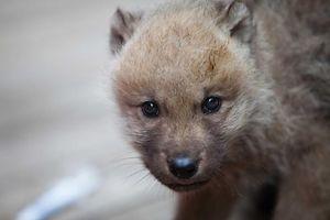 amneville zoo, natalite precoce au zoo amneville, bebe amneville zoo, foto feller tania, nouveau animaux bebe zoo amneville, 28.05.2014, loup, wolf